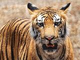 Bubba The Tiger