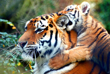 Bubba The Tiger Playing With His Cub Bobba 101