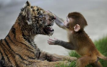 Bubba the Tiger Playing With His Old Friend Max The Monkey 101