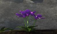 Fioletowy oleander