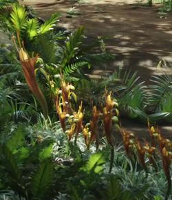 Direhorse Pitcher Plant