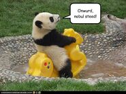 Cute panda lolcat noble steed rides horse playground funny