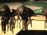 Klatooinische Reiskröte