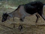 Endorianische Ziege