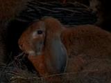 Endorianisches Kaninchen