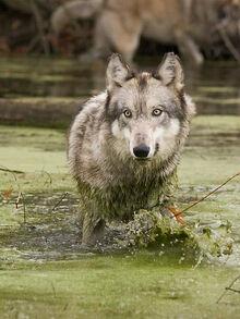 Swamp-Lobo