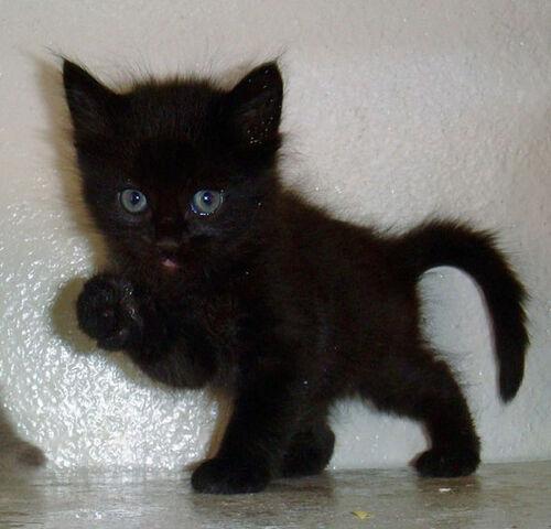 File:Black-Kitten-1-.jpg