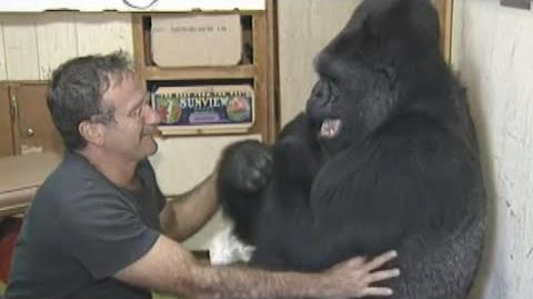 Koko the Gorilla's Best Moments From Sign Language to Meeting Mister Rogers