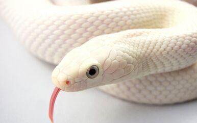 White-Snake-Wallpaper-67185648