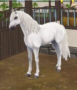 Koń andaluzyjski - siwa