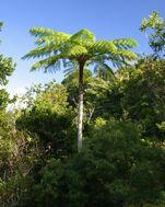Cyathea arborea