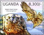 Uganda 2012 Fauna of African Great Lakes Region - Birds of Prey - Western Marsh Harrier e