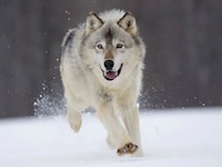 Gray Wolf Minnesota~ Small