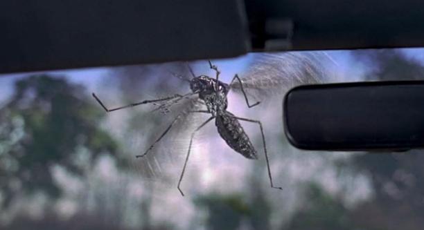 Elephant Mosquito Toxorhynchites Rutilus Full Body Image