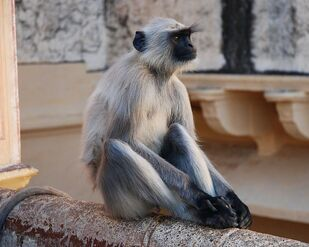 750px-Southern Plains Gray Langurs India 1
