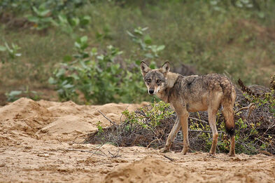 Indian Wolf - Adult