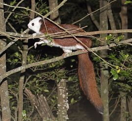 Red and White Giant Flying Squirrel