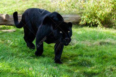 16147944-black-jaguar-stalking-through-grass-panthera-onca