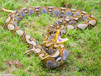 Reticulated-python-attacking