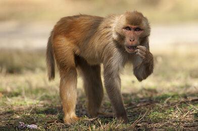 Rhesus-Macaque-8572 (1)