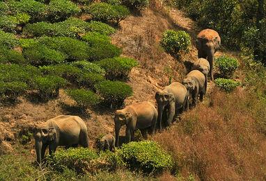 Herd of Indian Elephants
