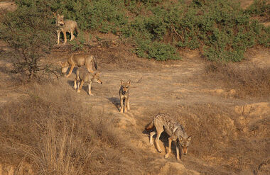 Indian Wolf - Adult and Cubs
