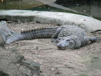 Indian Crocodile