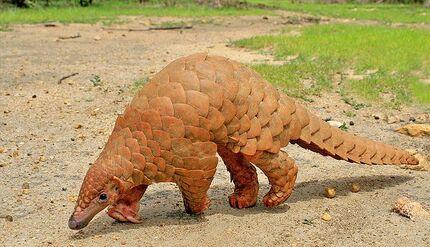 Indian Pangolin