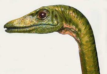 Compsognathus crâne
