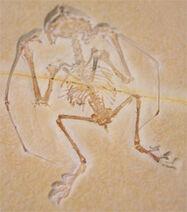 261108 Anurognathus-ammoni