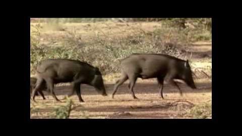 Prähistorische Raubtiere - Killerschwein Teil 1 5
