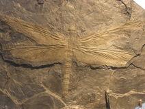 Meganeura fossil