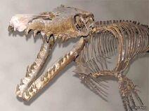 Mosasaurus Skelton