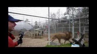 Lion Vocals