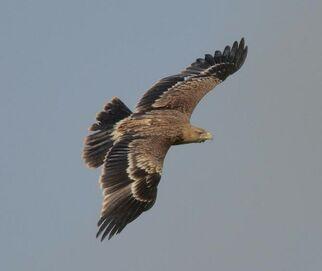 Imperial eagle copy2