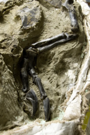 Blood Mary's fossil arm