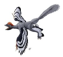 Anchiornis-huxleyi-feathered-dinosaur-julius-t-csotonyiscience-photo-library