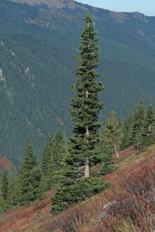 Conifer Abies lasiocarpa 5922