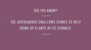 Apatosaur swallows stones