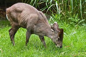 Tufted-deer-7163105