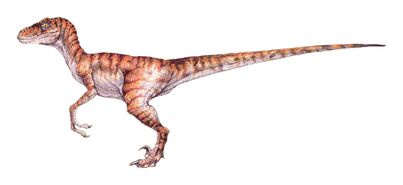 Raptor male