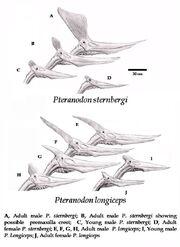 Pteranodon anatomie