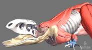 Скелетрекса