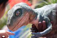Baby raptor tango