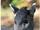 Нубларский хохлатый олень