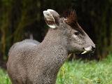 Nublar Tufted Deer