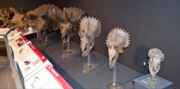 Triceratops growth stages in the museum