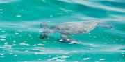 Turtle-swimming