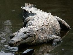 Crocodylus acutus mexico 02-edit1