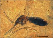 Insect in oil shale